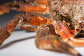 Leg, shell, European spider crab, mimicry, imitation, shellfish, — Stock Photo