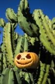 Halloween scary pumpkin on the cactuses backgroung — Stock fotografie