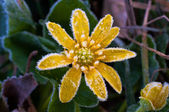 Frost on yellow flower — Stock Photo