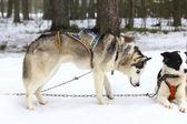 A Siberian husky in harness. — Stock Photo