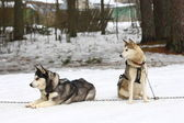 Two huskies in harness. — Stock Photo