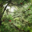 Raindrops on the branches of a pine — Stock Photo #56156525