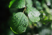 Dew drops on the leaves of wild rose — Stock Photo