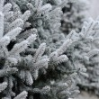Spruce in the snow. frost on the branches of spruce — Stock Photo #60543949