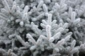 Spruce in the snow. frost on the branches of spruce — Stock Photo