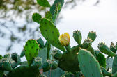 Blooming cactus in the wild nature — Stock Photo