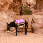 Jordan, Petra. Donkey as local transportation — Stock Photo #67336267