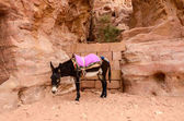 Jordan, Petra. Donkey as local transportation  — Stock Photo