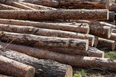 Pile of cut pine logs in the forest — Stock Photo