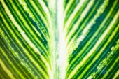 Close up of the striped green and white leaf — Stock Photo
