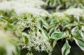 Close up of the dogwood white flowers and leaves — Stock Photo