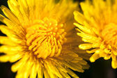 Closeup of two blooming yellow dandelion flowers — Stok fotoğraf