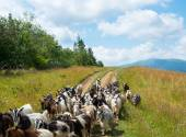 Flock of goats on the dirt road in the Carpathians — Stock fotografie