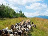 Flock of goats on the dirt road in the Carpathians — Stock Photo