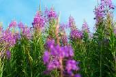 Fireweed (Epilobium or Chamerion angustifolium) — Stock Photo