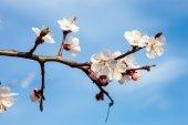 Apricot blossom branches — Stock Photo