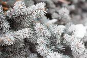 Barrträd grenar täckta med rimfrost — Stockfoto