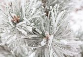 Coniferous branches covered with hoarfrost — Foto Stock