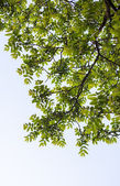 Green branches of the walnut tree — Foto Stock