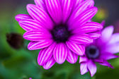 Purple flower of osteospermum — Stock Photo