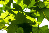 Green maple leaves in the sunshine — Foto Stock