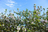 Blooming branches of the apple tree against the blue sky — Foto Stock