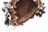 Withered sunflower head in winter — Stock Photo