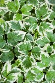 Green-white leaves — Stock Photo