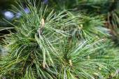 Closeup of the pine buds and needles — Stock Photo