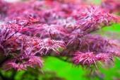 Pink leaves of the Japanese maple (Acer palmatum) — Stock Photo