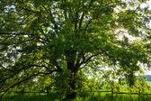 老橡树上的灿烂夏日 — 图库照片