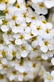 White Spiraea flowers — Stock Photo