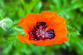 Closeup of the blooming red poppy flower and poppy bud — Stock Photo