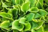 Green leaves of hosta — Stock Photo