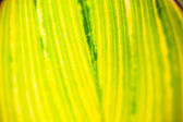 Close up of the striped yellow-light-green leaf — Stock Photo