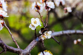 White flowers of the cherry tree and bumblebee. — Stock Photo