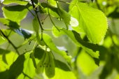 Green leaves of the lime tree in the sunshine — Stock Photo