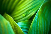 Green leaves of hosta with dew drops — Stock Photo