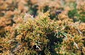 Juniper branches with  lots of yellow pollen-producing male cone — Stock Photo