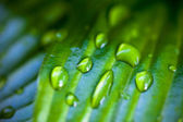 Dew drops on hosta green leaves — Stock Photo
