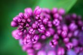Closeup of Lilac flowers' buds — Stock Photo