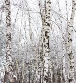 Birch trees covered with hoarfrost — Stock Photo