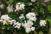 Blooming Spiraea shrub — Stock Photo