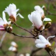 White flowers of the magnolia tree in early spring — Stock Photo #69803867