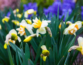 Flowers of Narcissus — Stock Photo