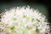 Kvete bílými okrasné cibule (Allium) — Stock fotografie