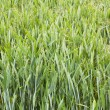 Barley growing in Yorkshire field — Stock Photo #66312905