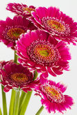 Pink gerbera flowers islolated on white background — Stock Photo