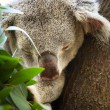 Sleeping Koala — Stock Photo #72253317