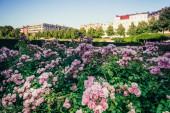 Purple flowers in Berlin park — Stock Photo